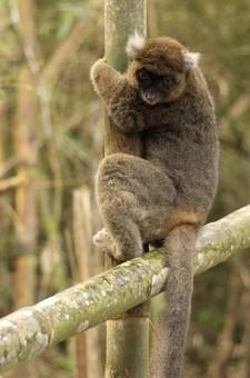 Informacion de monos de la raza lemur grande del bambu - Reproduccion del bambu ...